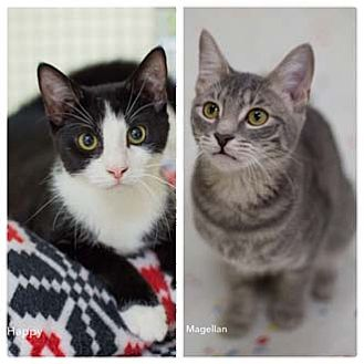 Domestic Shorthair Kitten for adoption in Merrifield, Virginia - Happy