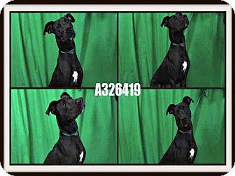 Labrador Retriever/Great Dane Mix Dog for adoption in St. Peters, Missouri - BALTO