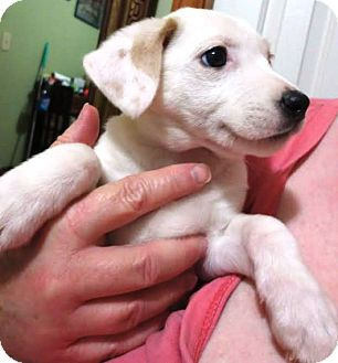 Terrier (Unknown Type, Medium)/Hound (Unknown Type) Mix Puppy for adoption in Kalamazoo, Michigan - Candy - Jill