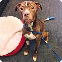 Adopt A Pet :: Amos - Avon, OH