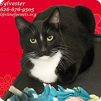 Adopt A Pet :: SYLVESTER - Monrovia, CA
