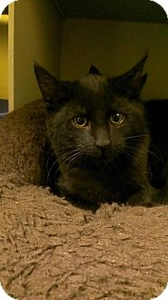 Domestic Shorthair Kitten for adoption in Richboro, Pennsylvania - Tim McGraw