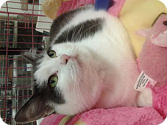 Domestic Shorthair Cat for adoption in Chesapeake, Virginia - Kiki