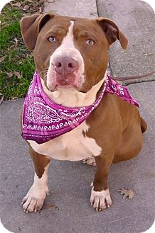 American Pit Bull Terrier Dog for adoption in Sacramento, California - Cammie loves kids easy mellow
