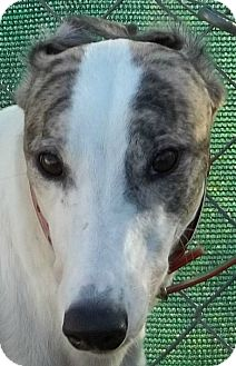 Greyhound Dog for adoption in Longwood, Florida - PWS Lovelyrachel