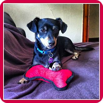 Chihuahua/Dachshund Mix Puppy for adoption in Bridgeton, Missouri - Ozzy-Adoption pending