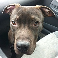 Labrador Retriever/Pit Bull Terrier Mix Dog for adoption in Cincinnati, Ohio - Charlie