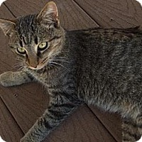 Domestic Shorthair Cat for adoption in Rohrersville, Maryland - Hemmingway