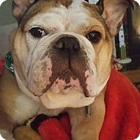 Adopt A Pet :: Leyla - Park Ridge, IL