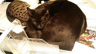 Bombay Kitten for adoption in Warminster, Pennsylvania - Coal