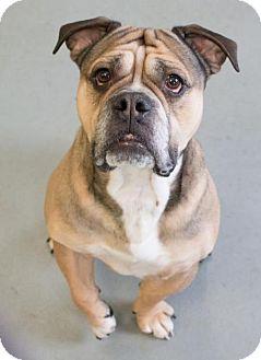 English Bulldog Mix Dog for adoption in Minneapolis, Minnesota - Flex