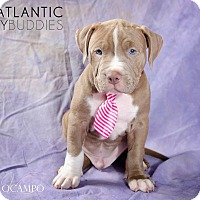 Adopt A Pet :: Apollo - Reisterstown, MD
