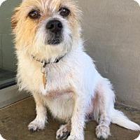 Adopt A Pet :: Schatzi - Fredericksburg, TX