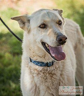Siberian Husky/German Shepherd Dog Mix Dog for adoption in Cedar Crest, New Mexico - Sasha