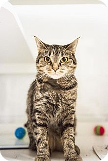 Domestic Shorthair Cat for adoption in Parma, Ohio - Sylvia