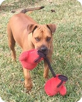 Pit Bull Terrier/Hound (Unknown Type) Mix Dog for adoption in Pittsburgh, Pennsylvania - Briles