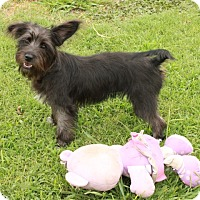 Terrier (Unknown Type, Small) Mix Puppy for adoption in Allentown, Pennsylvania - Trixie