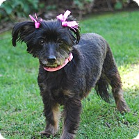 Yorkie, Yorkshire Terrier/Dachshund Mix Dog for adoption in Los Angeles, California - LORELEI