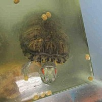 Turtle - Other for adoption in Burbank, California - A064830