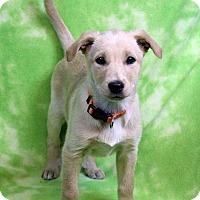 Adopt A Pet :: NELLY - Westminster, CO