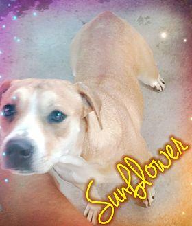 American Bulldog Mix Dog for adoption in Odessa, Texas - Sunflower