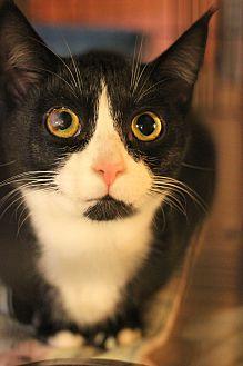 Domestic Shorthair Kitten for adoption in Carlisle, Pennsylvania - Lynxie