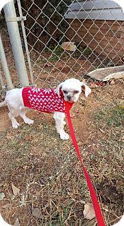Shih Tzu Dog for adoption in Scottsboro, Alabama - Isaac