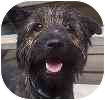 Scottie, Scottish Terrier Mix Dog for adoption in Hamilton, Ontario - Dunkin