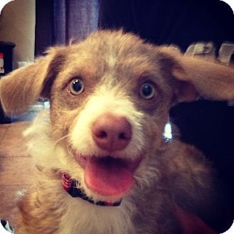 Terrier (Unknown Type, Small) Mix Puppy for adoption in Las Vegas, Nevada - Houston