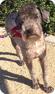 Poodle (Miniature)/Schnauzer (Miniature) Mix Dog for adption in Long Beach, California - Mac