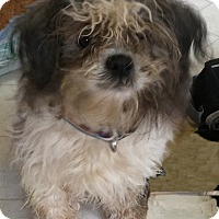 Adopt A Pet :: Spencer - Sweet & Playful Shih - Rochester, NY