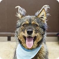 Adopt A Pet :: Shiggy - Ile-Perrot, QC