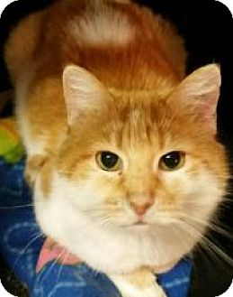 Domestic Shorthair Cat for adoption in Lexington, Kentucky - Gena