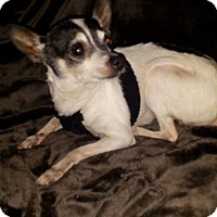Chihuahua Dog for adoption in Lewistown, Pennsylvania - Boo
