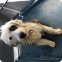 Adopt A Pet :: Buster Brown - San Francisco, CA