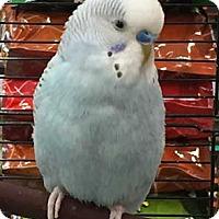 Adopt A Pet :: Sky - Patterson, NY