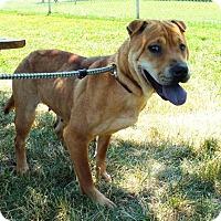 Adopt A Pet :: Shea - Springfield, IL