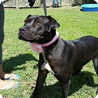 Pit Bull Terrier/Labrador Retriever Mix Dog for adoption in Summerville, South Carolina - Onyx