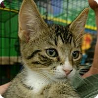 Adopt A Pet :: Socks - Ortonville, MI