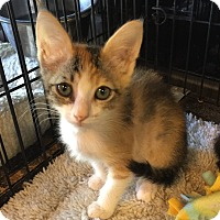 Adopt A Pet :: Caramel - Glendale, AZ