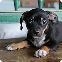 Adopt A Pet :: Trent - San Antonio, TX