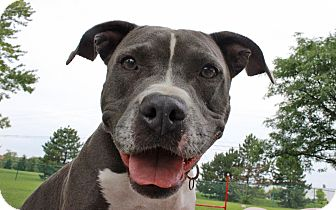American Staffordshire Terrier/Terrier (Unknown Type, Medium) Mix Dog for adoption in Troy, Michigan - Shannon