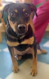 Miniature Pinscher Mix Puppy for adoption in Clifton Forge, Virginia - Rosie