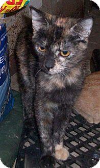 Domestic Shorthair Kitten for adoption in Morriston, Florida - Precious