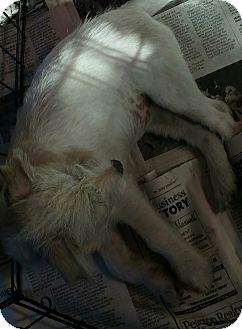 Westie, West Highland White Terrier Mix Puppy for adoption in Yuba City, California - Sophie