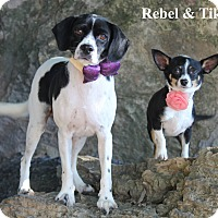 Beagle/Rat Terrier Mix Dog for adoption in Dalton, Georgia - Rebel &  Tiki