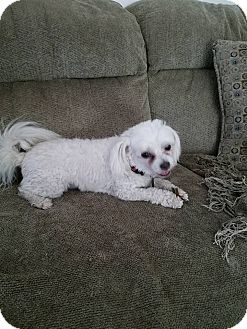 Maltese/Poodle (Miniature) Mix Dog for adoption in La Verne, California - Lucky