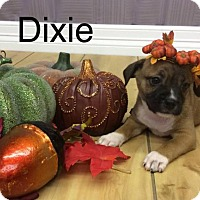 Adopt A Pet :: Dixie - Shreveport, LA