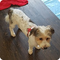 Adopt A Pet :: Buckly - Hainesville, IL