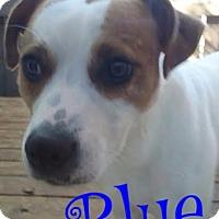 Adopt A Pet :: Blue Boy - Cantonment, FL